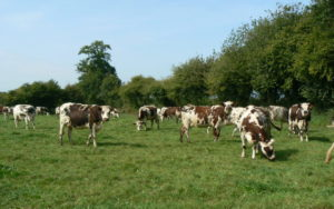 vache-laitiere