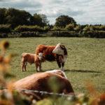 pré-vache